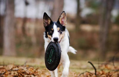 white and black dog running with a frisbee