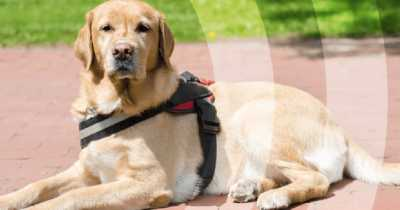 dog laying down on a sidewalk with a harness on